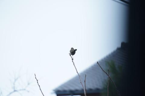 ウグイス枝の上