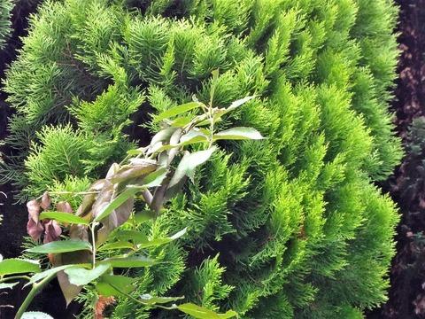 20180627食べられたツルバラの枝