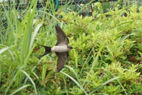 コシアカツバメ燕尾が長い