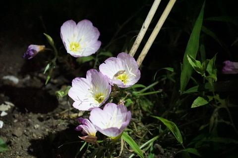 月見草の花の中に