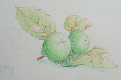 青柿 (2)