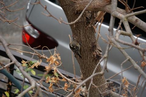 20201229コゲラ柿の木に