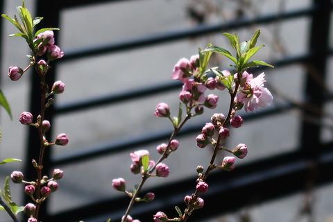 4月2日コメザクラ庭側