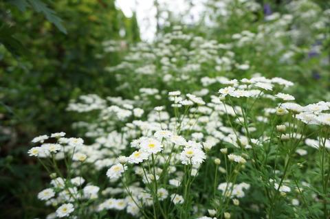 名無しの白い花