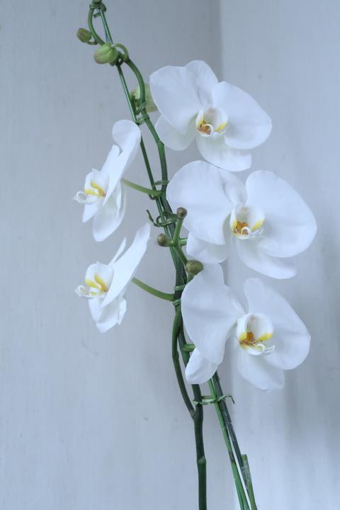 白の大型種