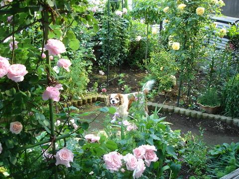 2006年5月31日庭のブライダルピンク