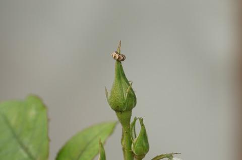 ヒラタアブ幼虫 (2)