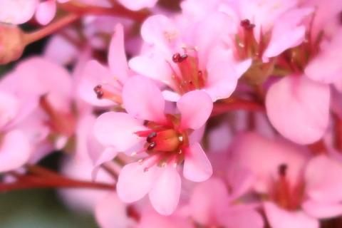 ヒマラヤユキノシタ春の花2