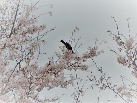 20160409桜の蜜を吸う鵯