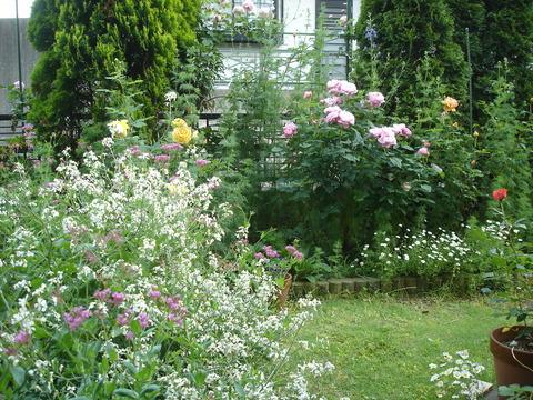 20090521はつか大根の花