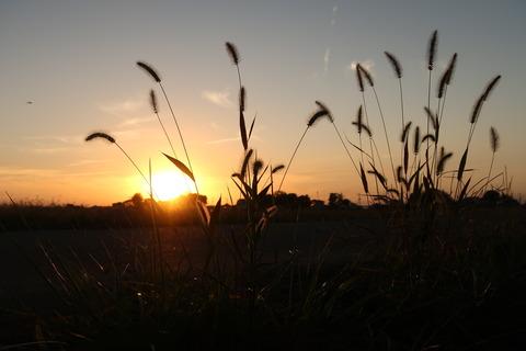 夕日とネコジャラシ