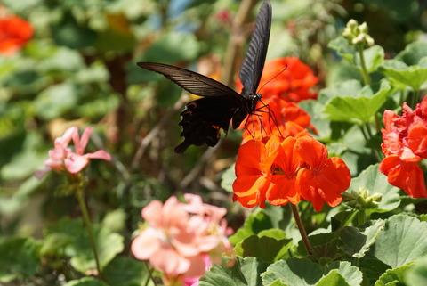 ゼラニウムと黒蝶