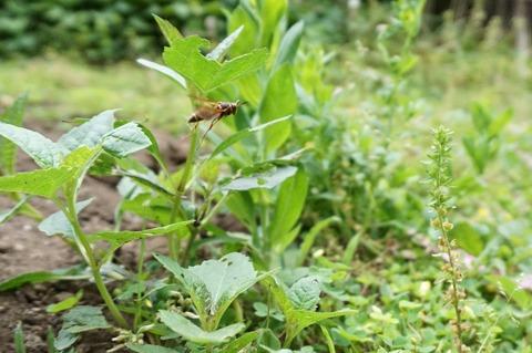 キボシアシナガバチ庭を見回る