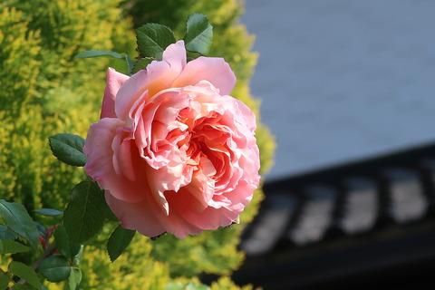 バラが咲く(アブラハムダービー)5月2日