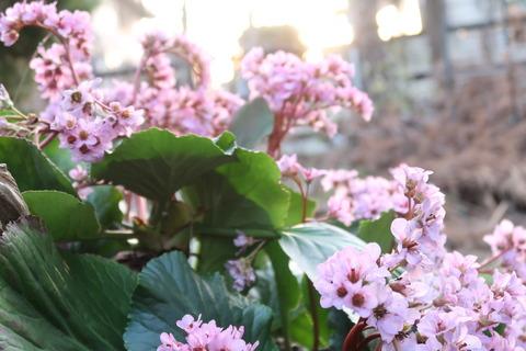 ヒマラヤユキノシタ花