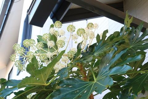 ヤツデ実と花