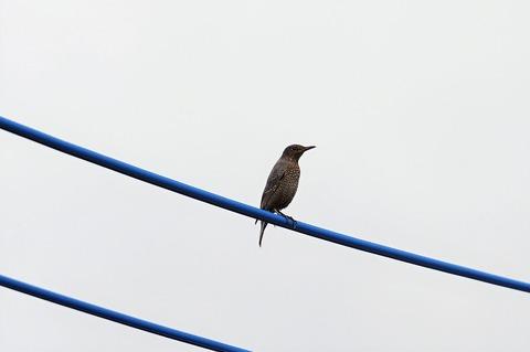 20180922イソヒヨドリの子鳥