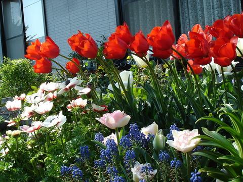 4月28日赤の遅咲きチューリップ
