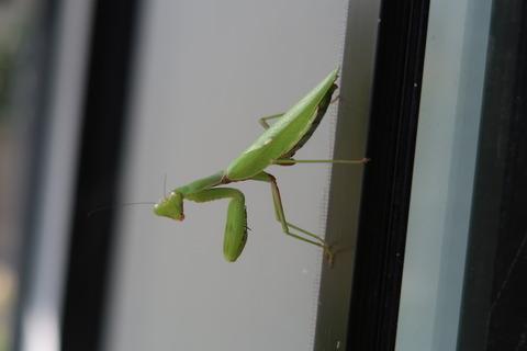 緑色ハラビロカマキリ