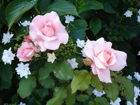 6月18日紫陽花とブライダルピンク