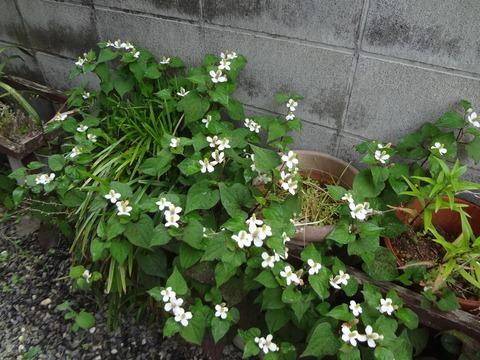 ドクダミの白い花