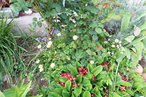 バラの回りに生い茂る花正面