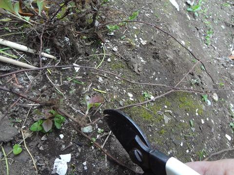 2018.5.2ヒメツルソバ枯れたツルを切る