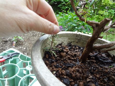 手抜き挿し木