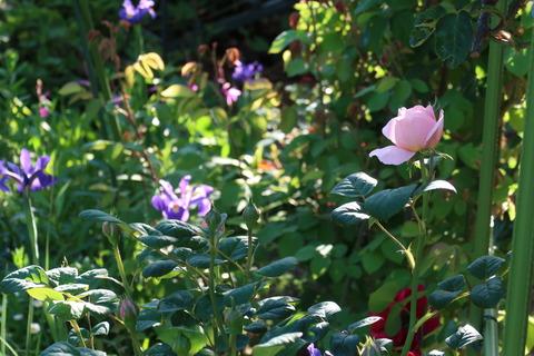 2020511バラと庭