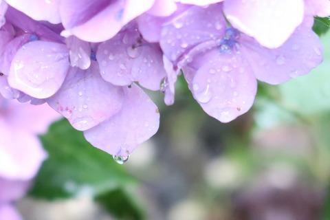 紫陽花の水滴2