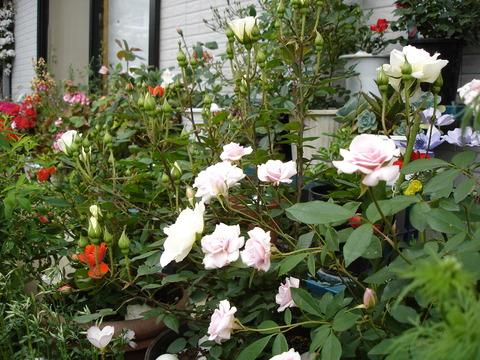 鉢植えのバラの花