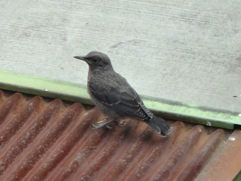 20140724幼鳥