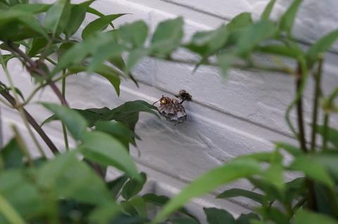 20190519アシナガバチの巣