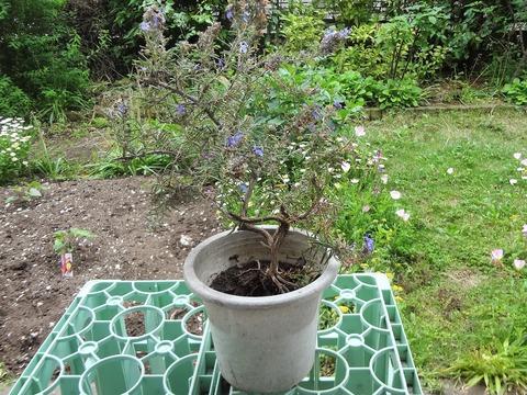 植え替え前のローズマリー