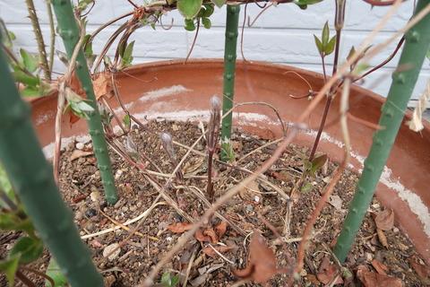 クレマチスの立派な新芽
