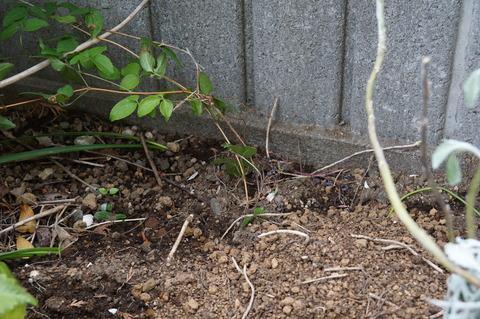 クレマチスの芽