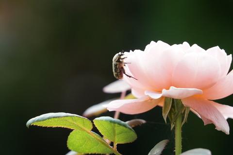 バラに花粉を食べにくるハナムグリ