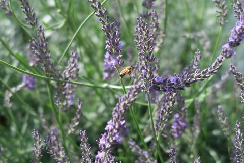 ミツバチ飛ぶ