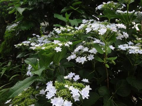 紫陽花墨田の花火20180606