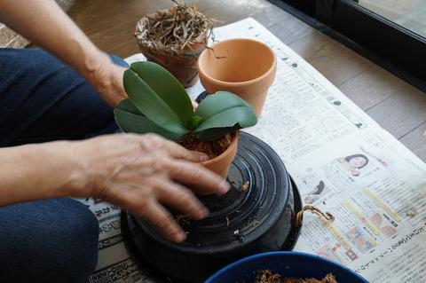 鉢に植えこむ