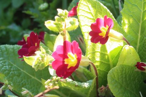 プリムラ咲き始め
