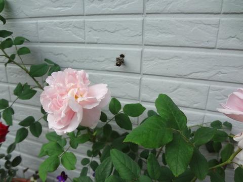 5月24日アシナガバチの巣作り