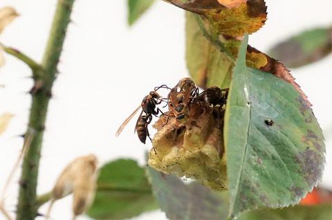キボシアシナガバチ2