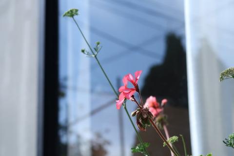 20200930ゼラニウムとパセリの花