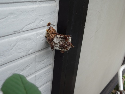 8月16日コアシナガバチの巣
