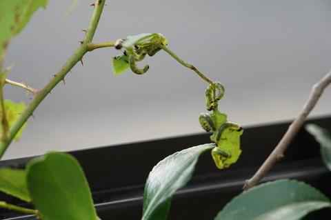 チュウレンバチ幼虫