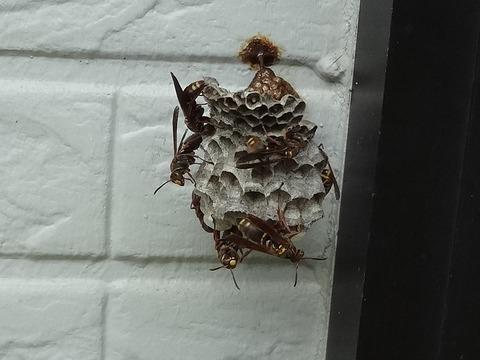 8月8日コアナガバチの巣2