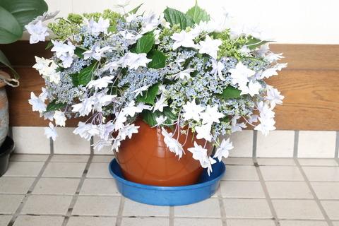 紫陽花の生け花
