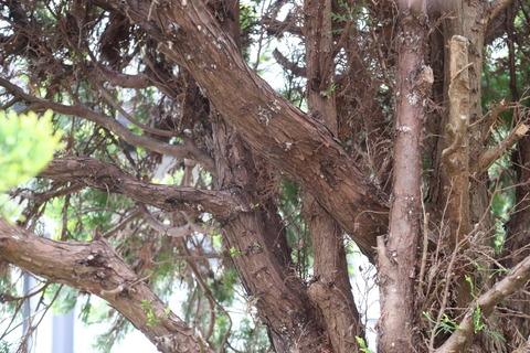 立木の状態で苔だらけ