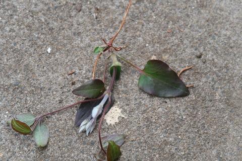 花芽を切り取っちゃった